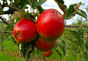 when to plant fruit trees auckland