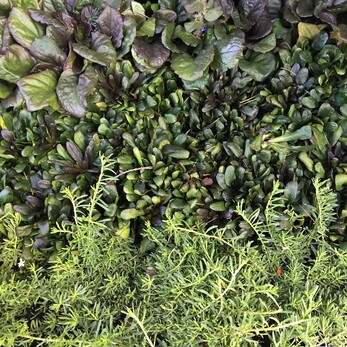 groundcover foliage
