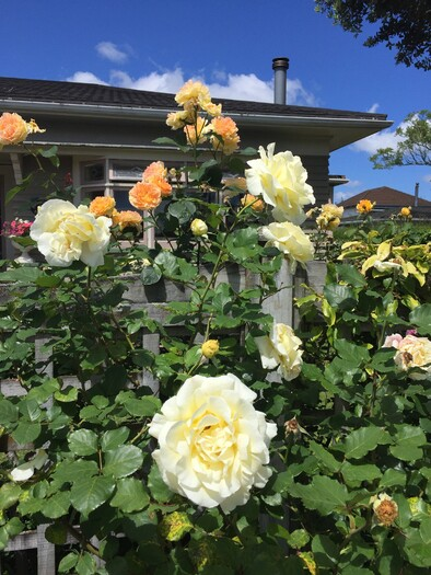 yellow rose garden