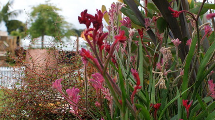 kangaroo paws in mixed planting